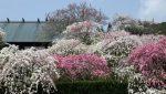 桃の花、梅の花、桜の花の季節と時期はいつ?